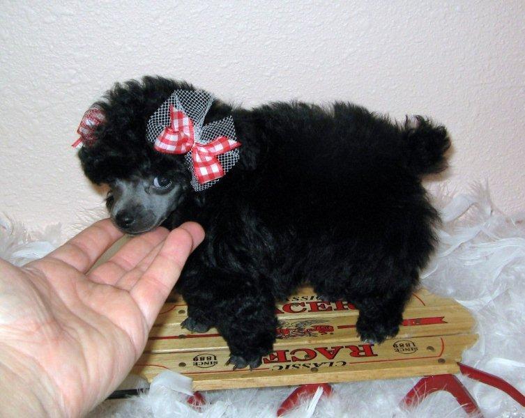 Newborn Teacup Poodle These teacup poodles have allNewborn Teacup Poodle