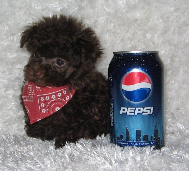 Red Teacup Poodle Puppy Luvteacuppoodles home/teacups