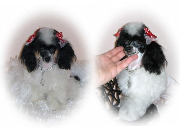 Luvtcuppoodles Tea Cup And Tiny Toy Poodle Puppies 4 Sale