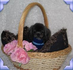 teacup poodle sire